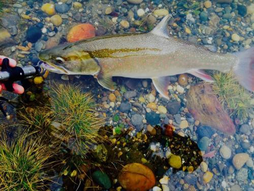 Photo thumbnail: Bull trout...