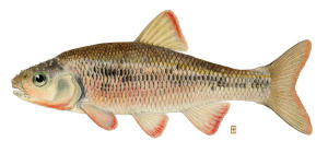 Common Shiner